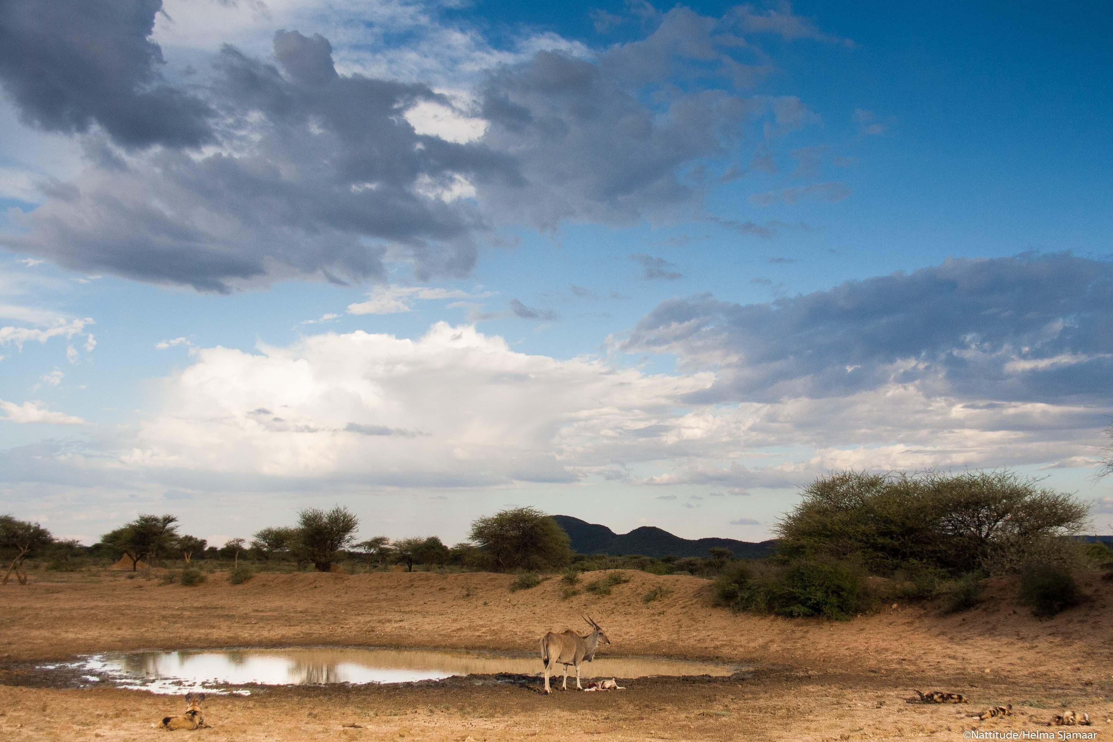 Eland met wilde honden