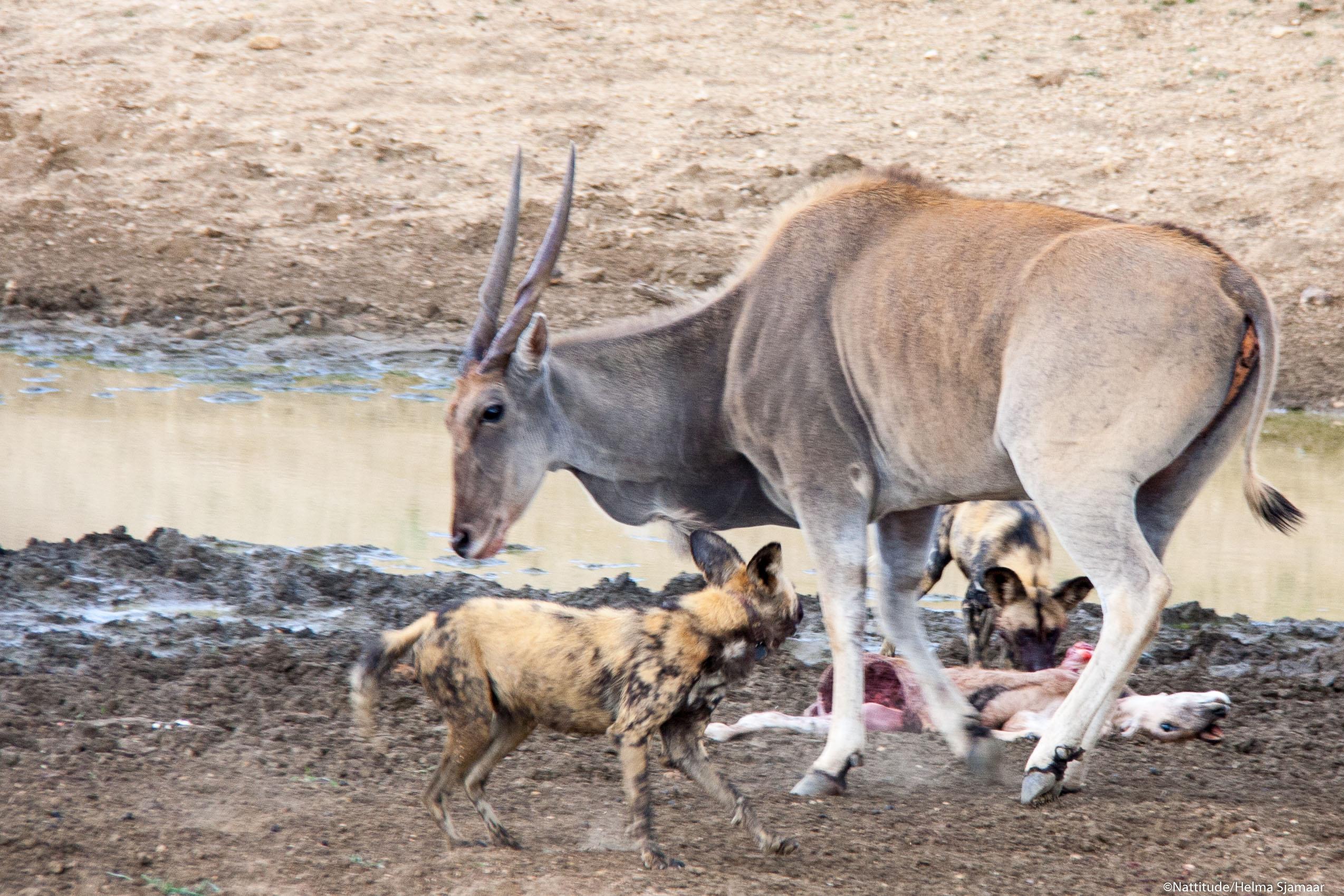 De eland verdedigt
