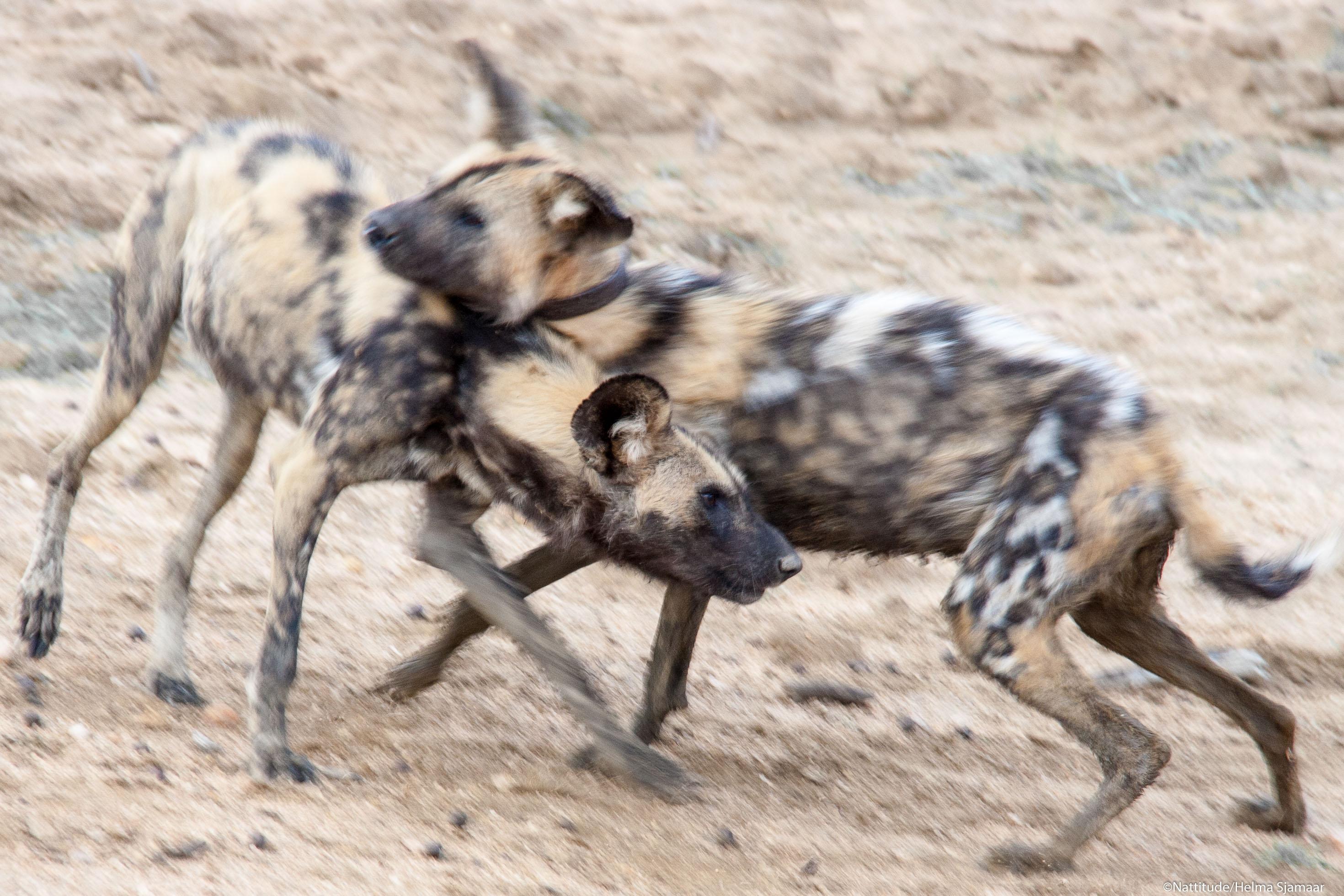 Wilde honden 14