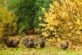10 Moerasberm met Sussex kippen.jpg