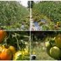 Potager, tomaten