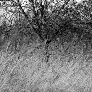 Verwilderde kersengaard